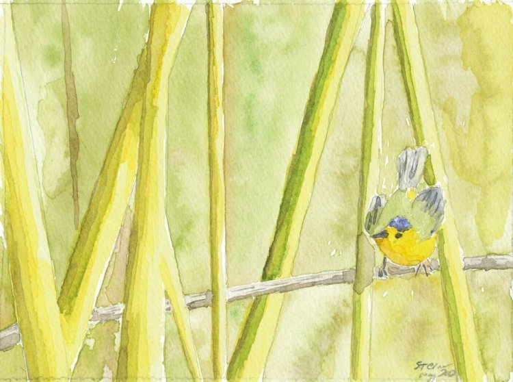 A Wilson's Warbler.  Based on a photograph my Alex Lamoreaux.  Robert Sterner 2012
